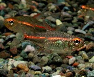 【熱帯魚】グローライトテトラ 10匹セットセール価格!