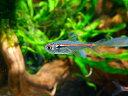 【熱帯魚】ハイフェソブリコン・アマパエンシス 1匹ヨーロッパブリード神戸店在庫