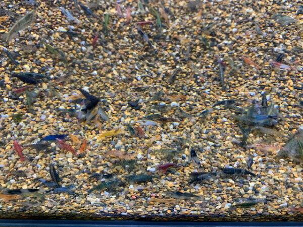 シュリンプ チェリー系シュリンプMIX50匹+5匹人気商品神戸店在庫≪熱帯魚観賞魚飼育≫