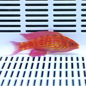 Spanishhogfish