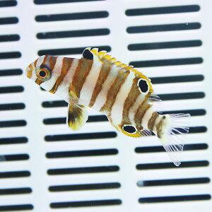 シチセンベラ約6〜10cm±キュア済★!【15時までのご注文で当日発送】海水魚ベラ