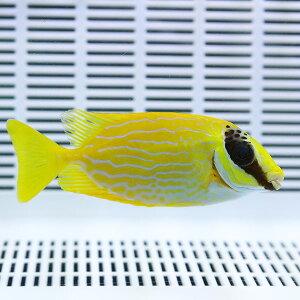 マジリアイゴ7-10cm±!海水魚アイゴ餌付け15時までのご注文で当日発送【ハギ】