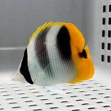 スダレチョウ 7-9cm±! 海水魚 チョウチョウウオ 餌付け 【※多少のヒレ欠けあり】15時までのご注文で当日発送【チョウチョウウオ】