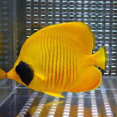 ゴールデンバタフライ 約4〜6cm±ゴールデンバタフライ 約4-6cm±! 海水魚 チョウチョウウオ 餌...