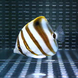テンツキチョウ 5-6cm±! 海水魚 チョウチョウウオ 15時までのご注文で当日発送【チョウチョウウオ】