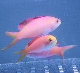 アカネハナゴイ 3匹セット 5-7cm±! 海水魚 ハナダイ 餌付け 15時までのご注文で当日発送【ハナダイ】