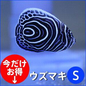 ウズマキ 海水魚 ヤッコ 餌付けウズマキ Sサイズ 約5-6cm±! 海水魚 ヤッコ 餌付け・キュア済★...