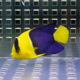 ソメワケヤッコ 7-9cm±! 海水魚 ヤッコ15時までのご注文で当日発送【ヤッコ】