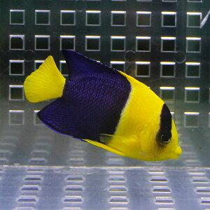 ソメワケヤッコ4cm〜6cm±!海水魚ヤッコ【キュア済】【15時までのご注文で当日発送】