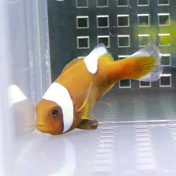トウアカクマノミ【1匹】 4-6cm± ! 海水魚 クマノミ 餌付け 15時までのご注文で当日発送【クマノミ】
