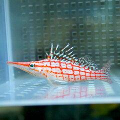 クダゴンベ 約6〜8cm !ゴンベ【15時までのご注文で当日発送】海水魚