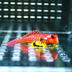 15時までのご注文で当日発送 死着保証ありルビーレッドドラゴネット 海水魚 ハゼ! 状態良好 ミ...