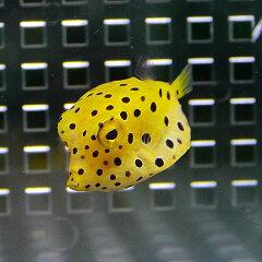 ミナミハコフグ 4-6cm±! 海水魚 フグミナミハコフグ 4-6cm±! 海水魚 フグ 【餌付け】【キュア...