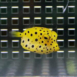 ミナミハコフグ3〜5cm±!海水魚フグ【餌付け】【キュア済】【15時までのご注文で当日発送】