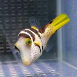 シマキンチャクフグ 4-6cm【1匹】! 海水魚 フグ 餌付け 【フグ】