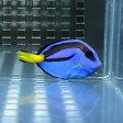 ナンヨウハギ Sサイズ 3-4cm ! ハギ 海水魚 餌付け PHセール対象 【ハギ】
