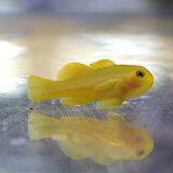キイロサンゴハゼ 1.5-3cm± 海水魚 ハゼ! 餌付け 15時までのご注文で当日発送【ハゼ】