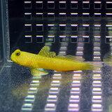 ギンガハゼ イエロー 3-5cm±!海水魚 ハゼ 餌付け 15時までのご注文で当日発送【ハゼ】