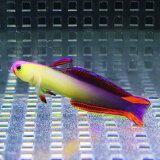 インドネシア産 アケボノハゼ 4-6cm± 【3匹セット】! 餌付け 海水魚 ハゼ15時までのご注文で当日発送(t121
