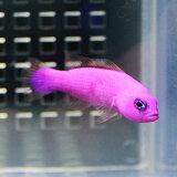 クレナイニセスズメ 4-6cm±! 海水魚 メギス 餌付け 【PHセール対象】【メギス】