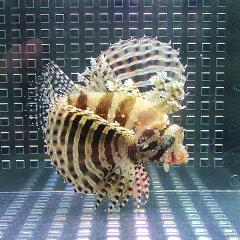 キリンミノカサゴ 6〜9cm± カサゴ ハギ 死着保証ありキリンミノカサゴ 6〜9cm± カサゴ 海水魚...
