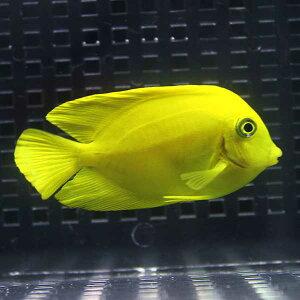 クログチニザヘラルドタイプ7〜9cm±海水魚ハギ!餌付け・キュア済【15時までのご注文で当日発送】