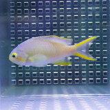 メラネシアンアンティアス 4-6cm±! 海水魚 ハナダイ 【餌付け】15時までのご注文で当日発送(t118