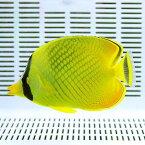 アミチョウ 6-8cm± ! 海水魚 チョウチョウウオ 15時までのご注文で当日発送【チョウチョウウオ】