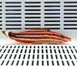 シマキツネベラ 8-11cm± ! 海水魚 ベラ 餌付け!15時までのご注文で当日発送【ベラ】