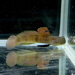 イエローウォッチマンゴビー8-11cm±!海水魚ハゼ【15時までのご注文で当日発送】【ハゼ】
