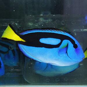 ナンヨウハギ特大!15-18cm±!海水魚ハギ餌付け15時までのご注文で当日発送【ハギ】