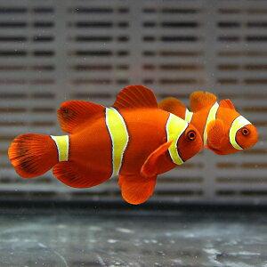 【現物4】スパインチークイエローバンド5cm±!海水魚クマノミ15時までのご注文で当日発送【クマノミ】