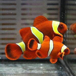 【現物2】スパインチークイエローバンドペア6.5-5cm±!海水魚クマノミ15時までのご注文で当日発送【クマノミ】