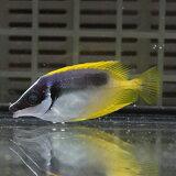 ヒフキアイゴ 4-5cm±! 海水魚 アイゴ餌付け (t119