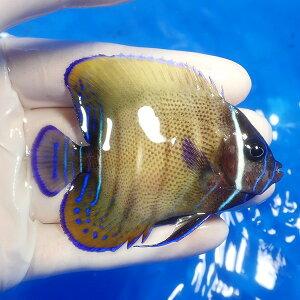 ロクセンヤッコ8cm±!海水魚ヤッコ【餌付け】【キュア済】【15時までのご注文で当日発送】