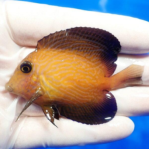 【現物3】シェブロンタン 7cm±!海水魚 ヤッコ 15時までのご注文で当日発送【ヤッコ】