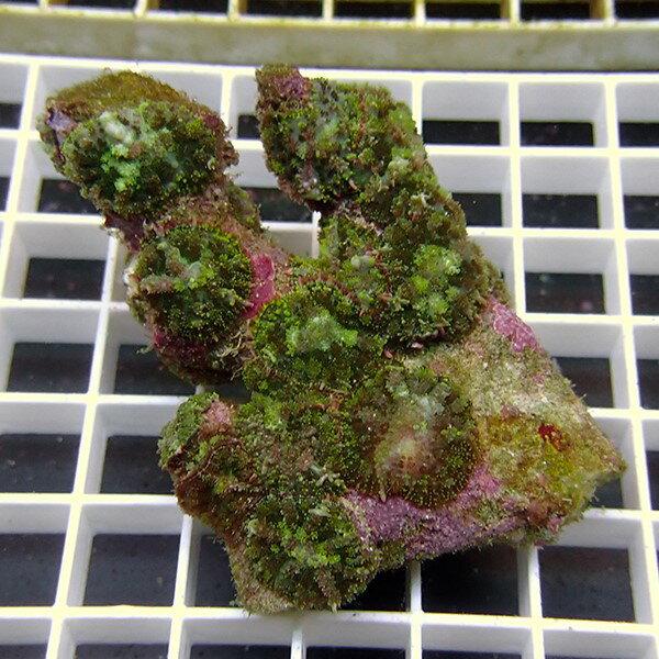 【サンゴ現物4】ディスクコーラル !15時までのご注文で当日発送 【サンゴ】