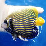 【現物9】タテジマキンチャクダイ 12cm±! 海水魚 ヤッコ【ヤッコ】