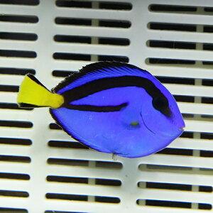 ナンヨウハギSMサイズ5-6cm海水魚ハギ!多少ヒレ欠け有15時までのご注文で当日発送【ハギ】