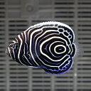 ウズマキ Sサイズ 約5-6.5cm±! 海水魚 ヤッコ 餌付け!15時までのご注文で当日発送【ヤッコ】