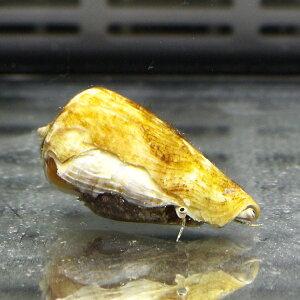 マガキガイ5匹セット砂のコケ対策に(注意)水なしで送ります!クリーナー貝【15時までのご注文で当日発送】【貝】
