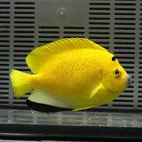 シテンヤッコ 成魚 8-10cm± !海水魚 ヤッコ 餌付け 15時までのご注文で当日発送【ヤッコ】