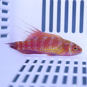 【現物4】ツキノワイトヒキベラペアハイブリッド!海水魚ベラ15時までのご注文で当日発送【ベラ】