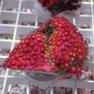 ハナガササンゴ