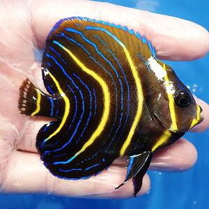 【現物3】コルテツエンゼル5cm±!カリブ産海水魚ヤッコ【ヤッコ】