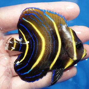 【現物4】コルテツエンゼル5.5cm±!カリブ産海水魚ヤッコ【ヤッコ】