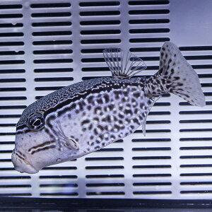 プラチナオセラリス