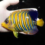 【現物4】インドニシキヤッコ 15.5cm±! 海水魚 ヤッコ15時までのご注文で当日発送【ヤッコ】