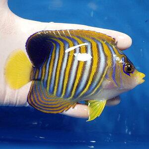 【現物生体no15】ニシキヤッコ約4.5cm±!海水魚ヤッコキュア済【15時までのご注文で当日発送】