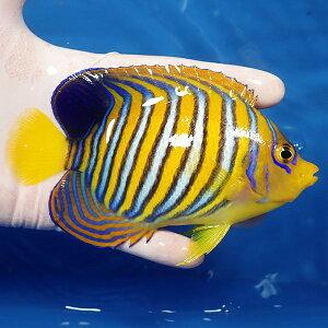 【現物生体no16】ニシキヤッコ約4.5cm±!海水魚ヤッコキュア済【15時までのご注文で当日発送】